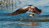 ospreytrout11.jpg