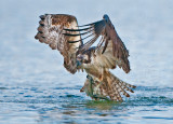 ospreytrout13.jpg