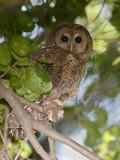 spottedowl3.jpg