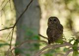 spottedowl1.jpg