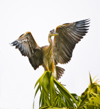 fledgling trying out his wings