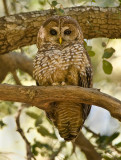 spotted owl(engdangered species)