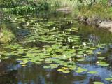 Vita näckrosor i  dammen nära gästhamnen på Enklinge