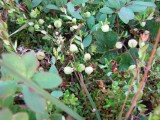 Tranbär