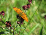 Fjäril som sitter på Kråkklöver