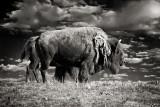 2nd PlaceAmerican bisonby Michael Puff