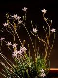 Prairie Fameflower