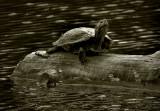 Blackwater Turtle