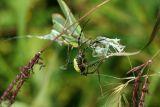 Banded Argiope Capturing a Praying Mantis 5