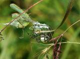 Banded Argiope Capturing a Praying Mantis 4