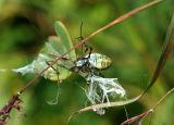 Banded Argiope Capturing a Praying Mantis 3