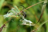 Banded Argiope Capturing a Praying Mantis 1