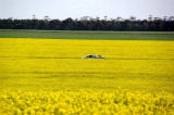 Lost in Canola