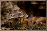 Kleefsteelmycena - Mycena viscosa ?