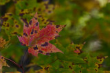 Red Maple Leaf *.jpg