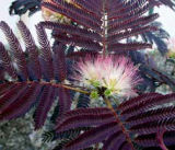 Albizia julibrissin 'Summer Chocolate' ®
