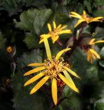 Ligularia dentata 'Britt-Marie Crawford' pp#16113