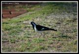 Butcher Bird on the Ground
