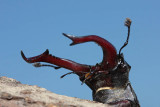 Stag beetle Lucanus cervus veliki rogaè_MG_2478-1.jpg