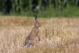 Brown hare Lepus europaeus poljski zajec_MG_2574-1.jpg