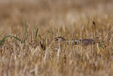 Brown hare Lepus europaeus poljski zajec_MG_2561-1.jpg