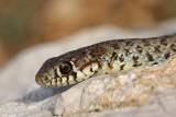 Balkan whip snake Hierophis gemonensis belica_MG_1868-1.jpg