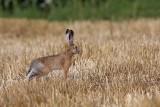 Brown hare Lepus europaeus poljski zajec_MG_2578-1.jpg