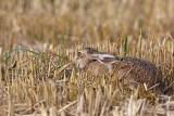 Brown hare Lepus europaeus poljski zajec_MG_2556-1.jpg