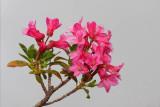 Hairy alpine rose Rhododendron hirsutum dlakavi sleè_MG_3203-1.jpg