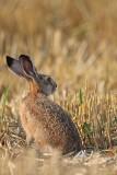Brown hare Lepus europaeus poljski zajec_MG_2528-1.jpg