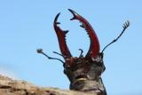 Stag beetle Lucanus cervus veliki rogaè_MG_2479-1.jpg