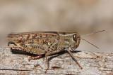 Italian locust Calliptamus italicus la¹ka kobilica_MG_9594-1.jpg