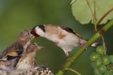 goldfinch_carduelis_carduelis