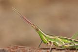 Mediterranean slant-faced grasshopper Acrida ungarica nosata saranèa_MG_9520-1.jpg