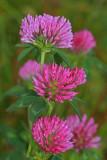 Red clover Trifolium pratense èrna detelja_MG_0483-1.jpg