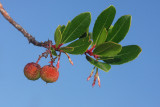Strawberry tree Arbutus unedo navadna jagodiènica_MG_3284-11.jpg