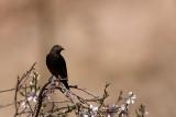 Tristram's Starling Onychognathus tristramii izraelski rdeèeperutec_MG_5687-11.jpg