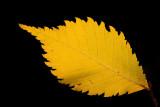 Field elm Ulmus minor poljski brest_MG_7669-11.jpg