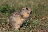 European ground squirrels Spermophilus citellus tekunica_MG_0629-11.jpg
