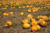 Oilseed pumpkin Cucurbita pepo oljna buèa_MG_3254-11.jpg
