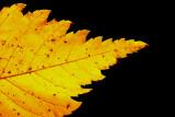 Field elm Ulmus minor poljski brest_MG_7681-11.jpg