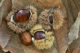 Sweet chestnut, marron Castanea sativa pravi kostanj_MG_7778-11.jpg
