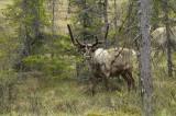 Reindeer Rangifer tarandus severni jelen-PICT0027.jpg