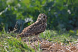 Short-eared owl Asio flammeus mo�virska uharica_MG_1545-1.jpg