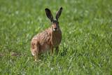 Brown hare Lepus europaeus poljski zajec_MG_5593-1.jpg