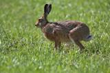 Brown hare Lepus europaeus poljski zajec_MG_5594-1.jpg