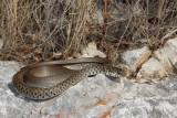 Balkan whip snake Hierophis gemonensis belica_MG_1959-1.jpg