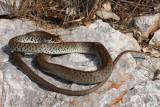 Balkan whip snake Hierophis gemonensis belica_MG_1938-1.jpg