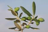 Olive Olea sativa navadna oljka_MG_2327-1.jpg