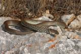 Balkan whip snake Hierophis gemonensis belica_MG_1949-1.jpg